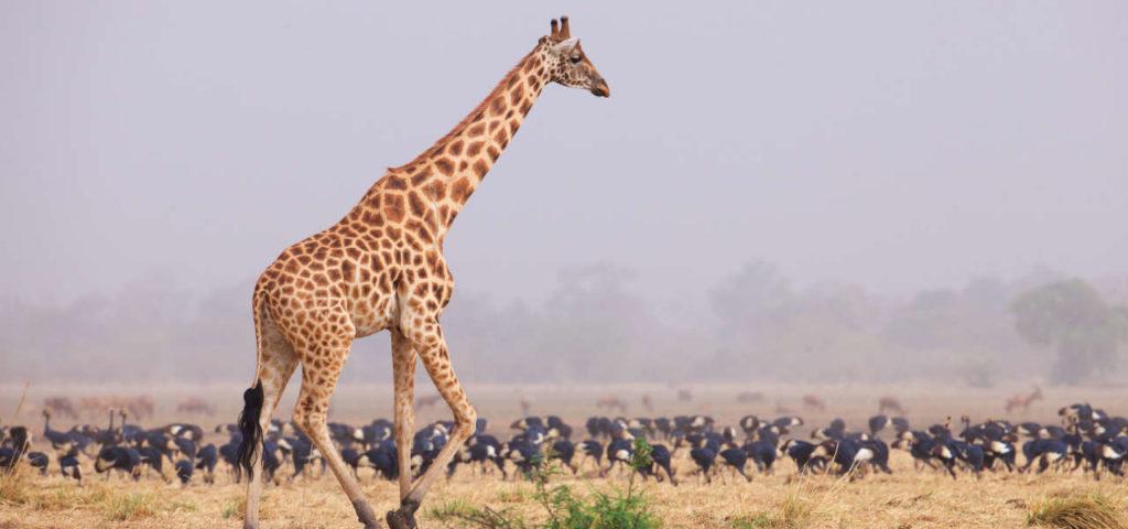 Кордофанский жираф фото