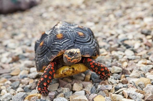 красноногая черепаха