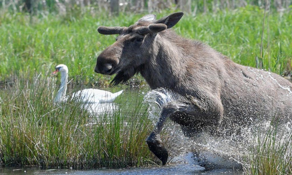 лось бежит в воде