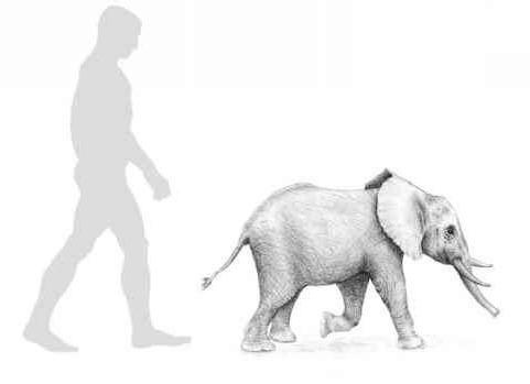 мальтийский карликовый слон