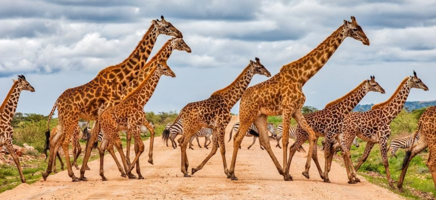 Масайский жираф фото