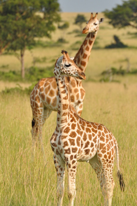 Нубийский жираф фото