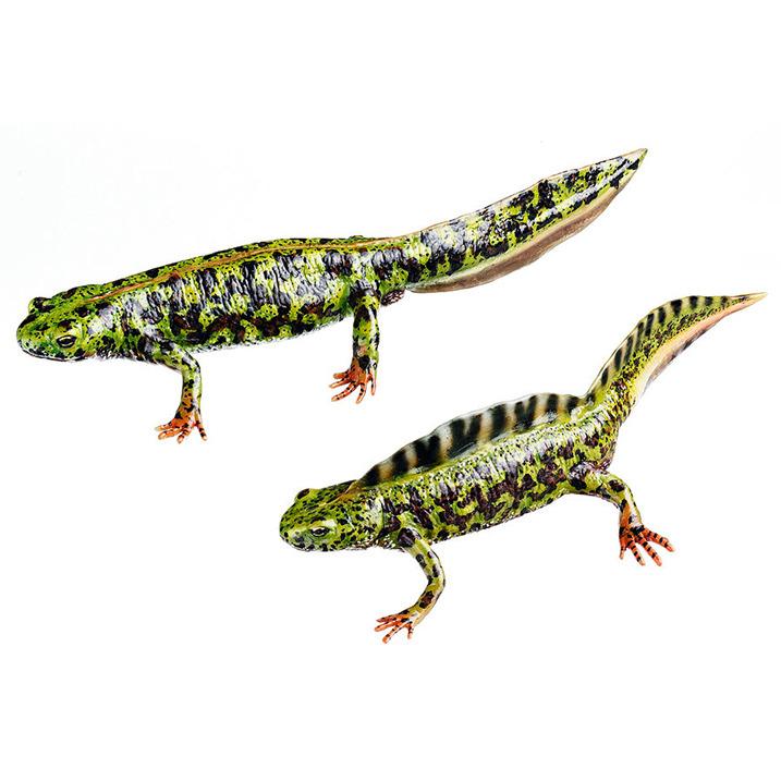 самка и самец тритона