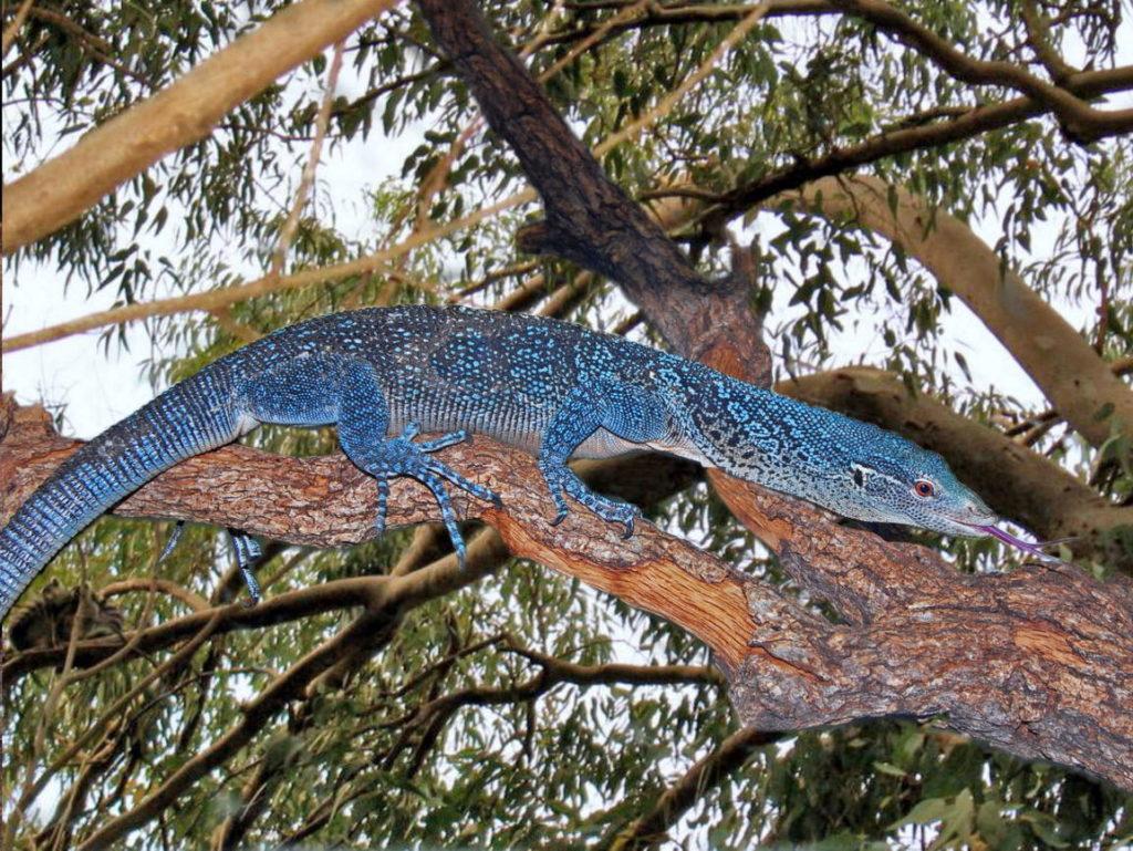 синий варан Макрея
