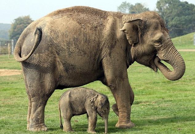 фото слониха со слоненком