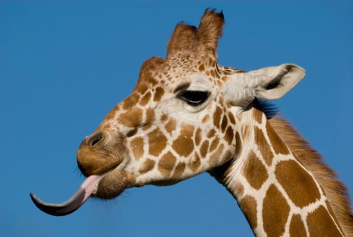 язык жирафа
