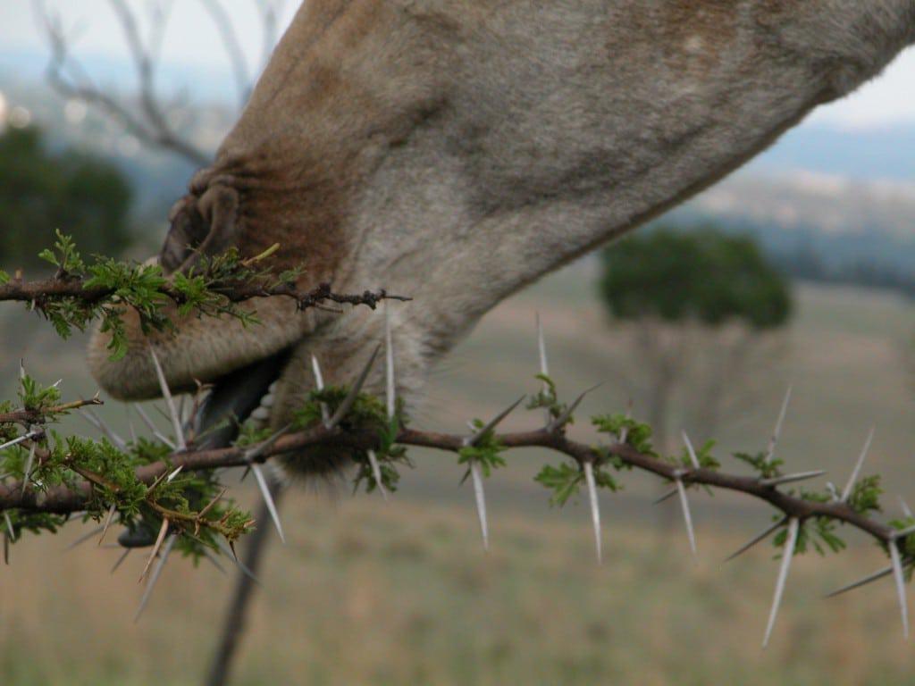 жираф ест колючую акацию