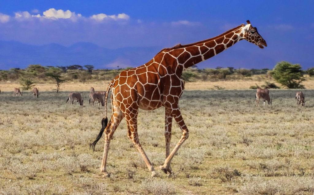 Жираф сетчатый фото