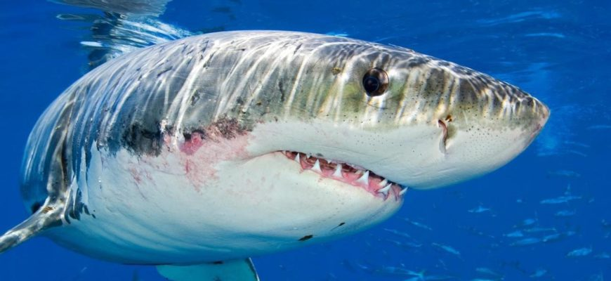 акула крупным планом фото