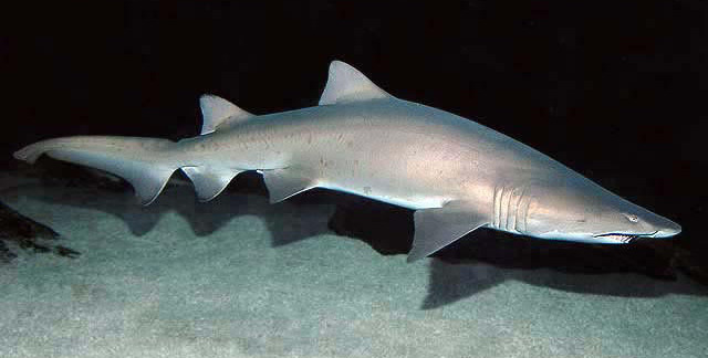 Песчаная акула Carcharias taurus