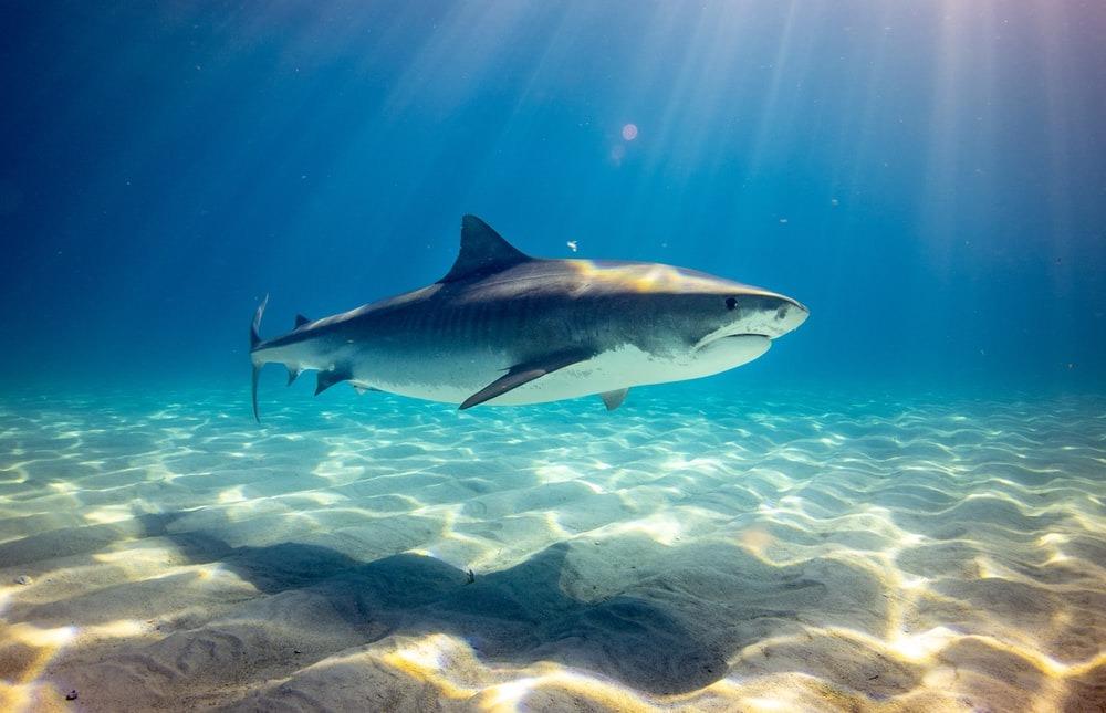 внешний вид акулы
