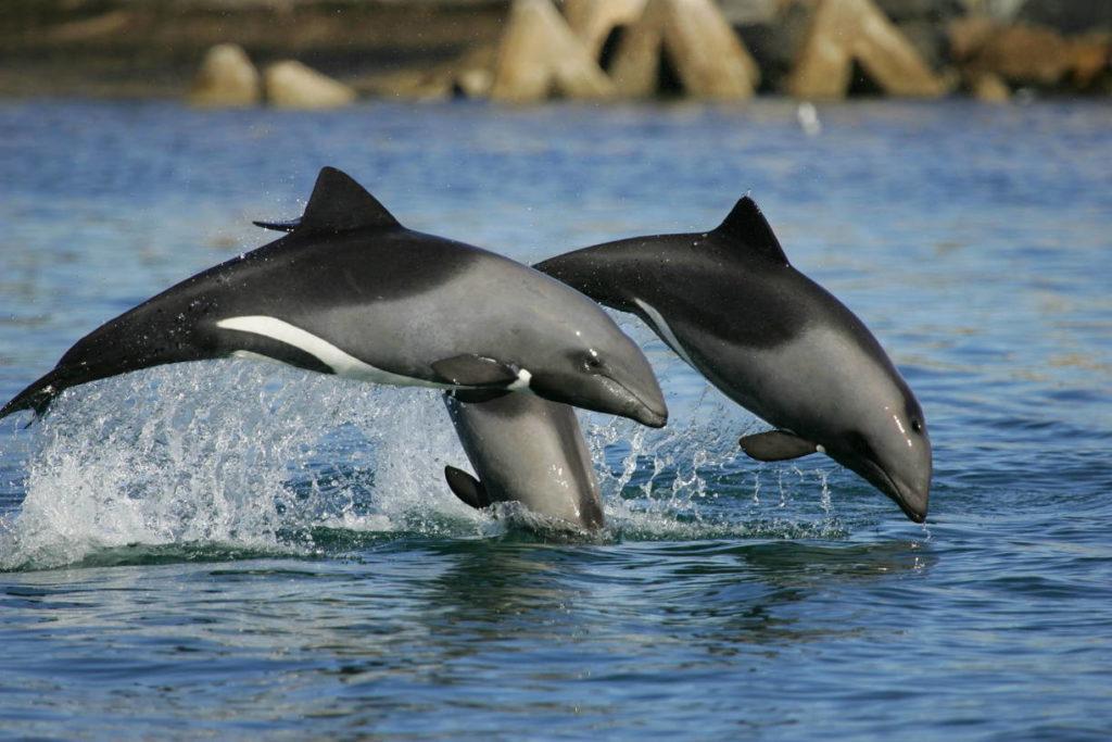 Белобрюхие дельфины Cephalorhynchus eutropia