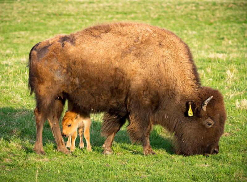 бизон пасётся