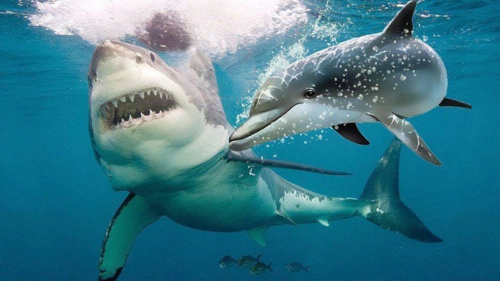 дельфин атакует акулу