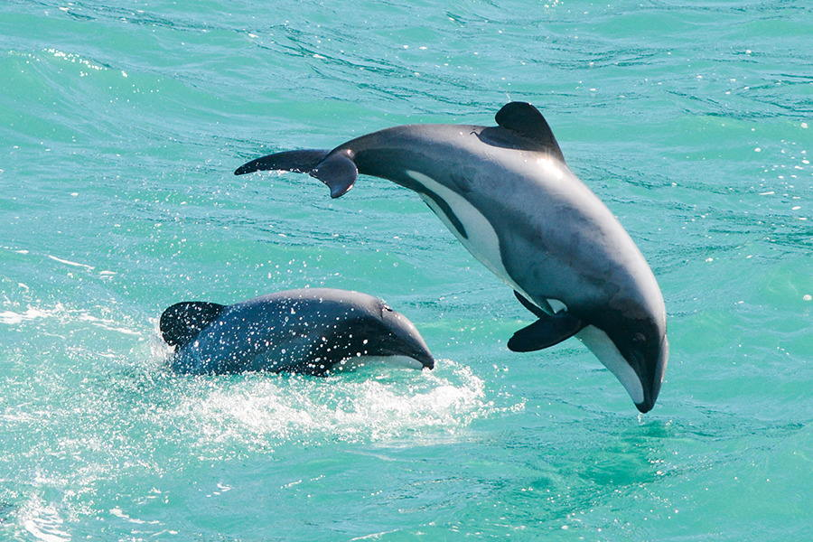 Дельфины Гектора Cephalorhynchus hectori