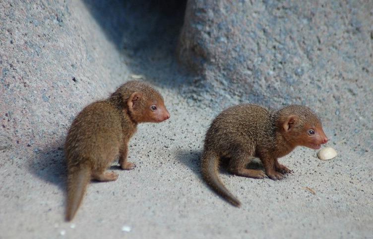 детёныши мангуста