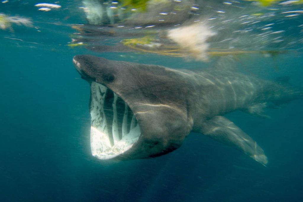 Гигантская акула Cetorhinus maximus