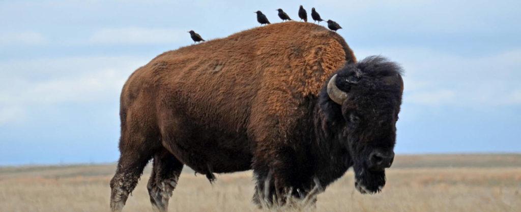интересные факты о бизоне