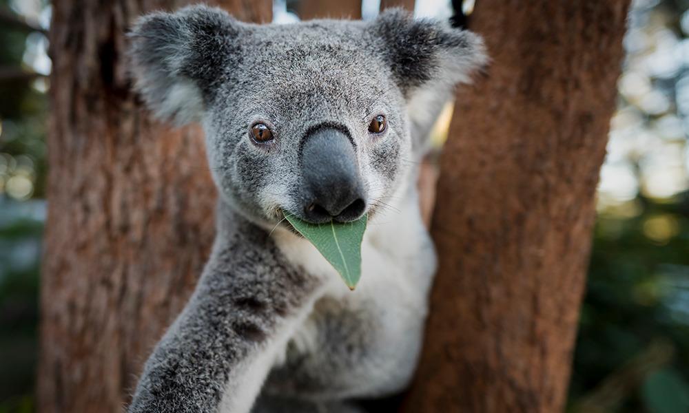 чем питается коала