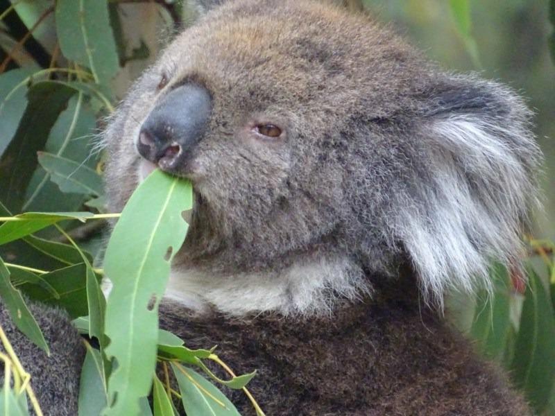 коала ест