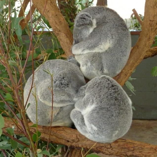 коалы спят