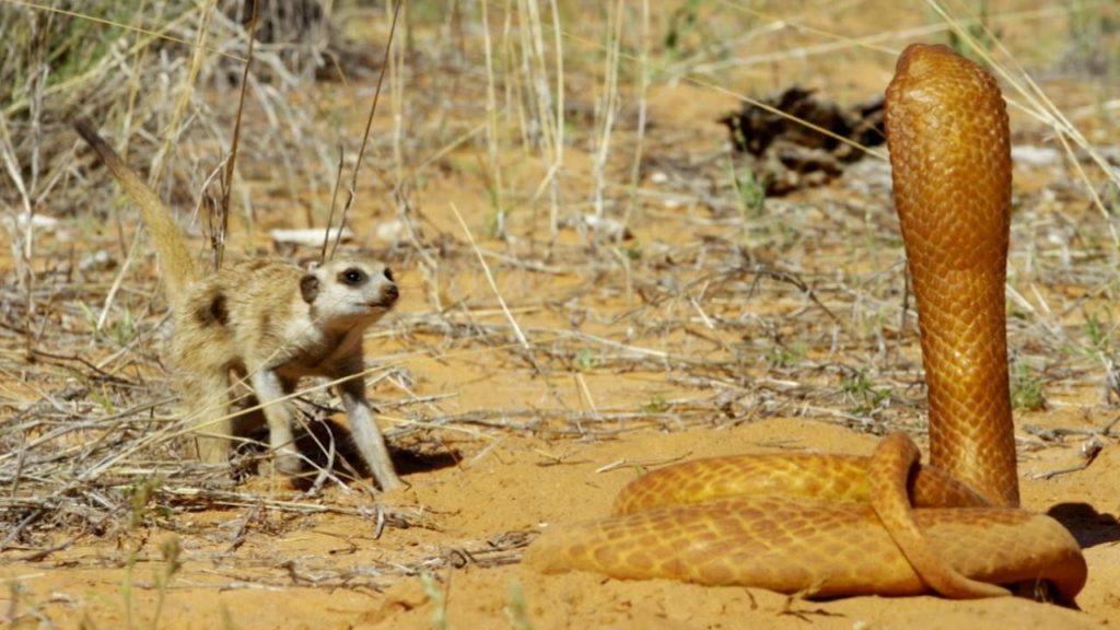 кобра и сурикат