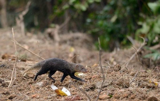 Короткохвостый мангуст (Herpestes brachyurus)