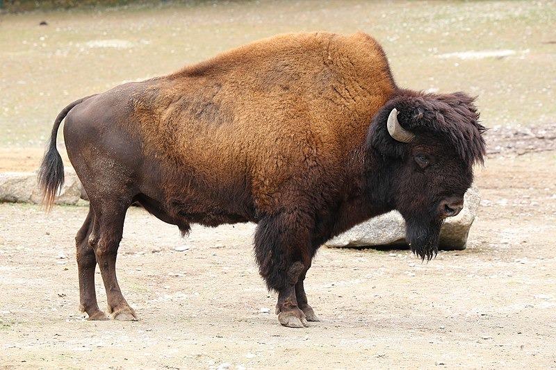 лесной бизон