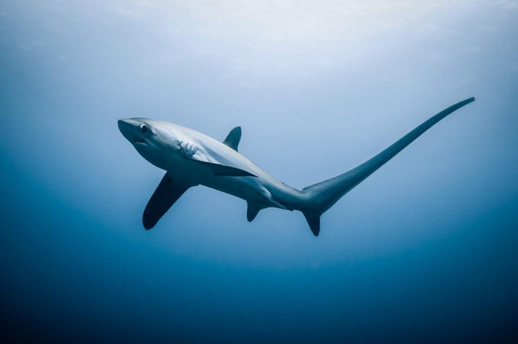 Лисья акула Alopias