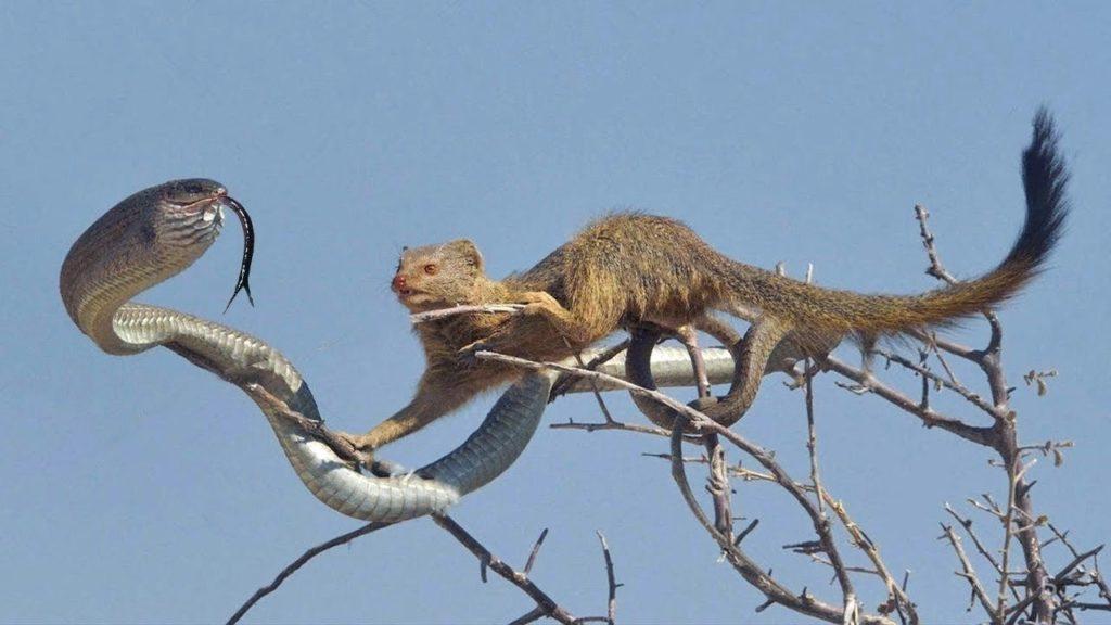 мангуст против змеи
