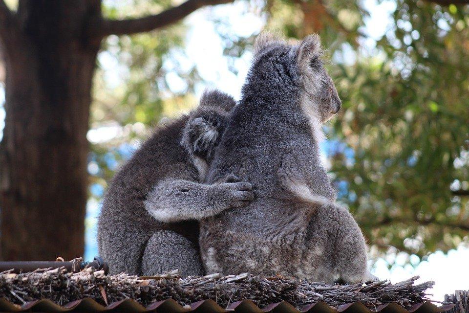 размножение коал