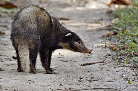 Свиной барсук теледу (Arctonyx collaris)