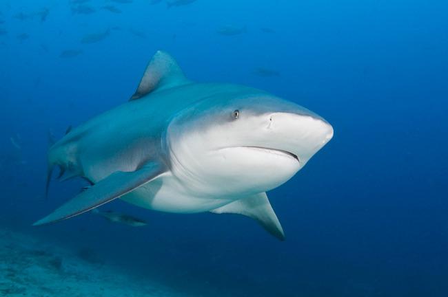 Тупорылая бычья акула Carcharhinus leucas