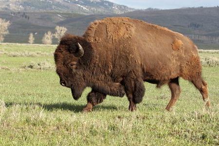 внешний вид бизона