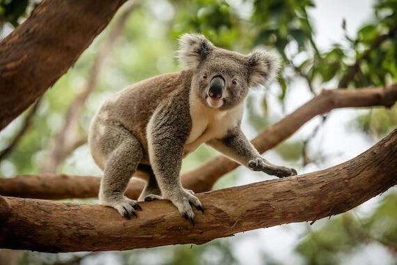 внешний вид коалы
