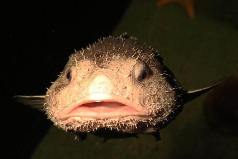 психролют рыба капля Psychrolutes marcidus