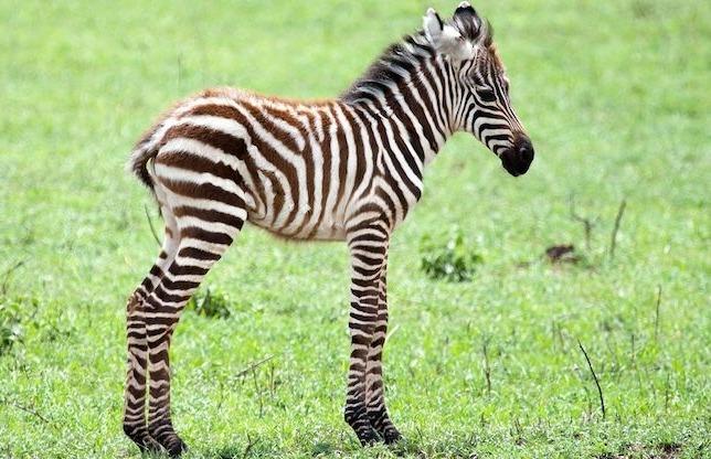 детеныш зебры