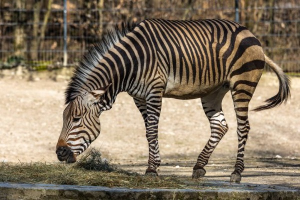Горная зебра Хартманна - Equus zebra hartmannae