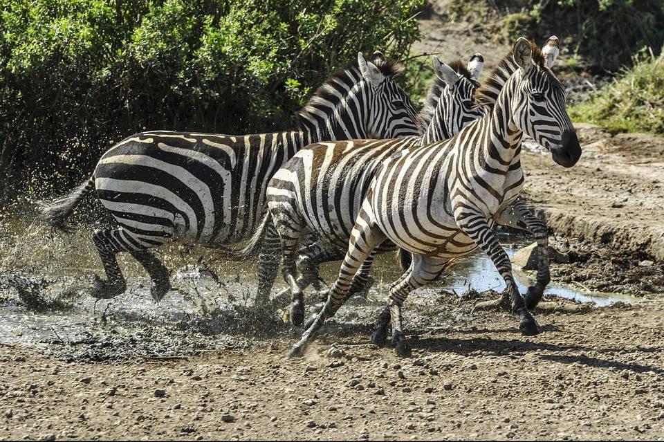 Испуганные зебры
