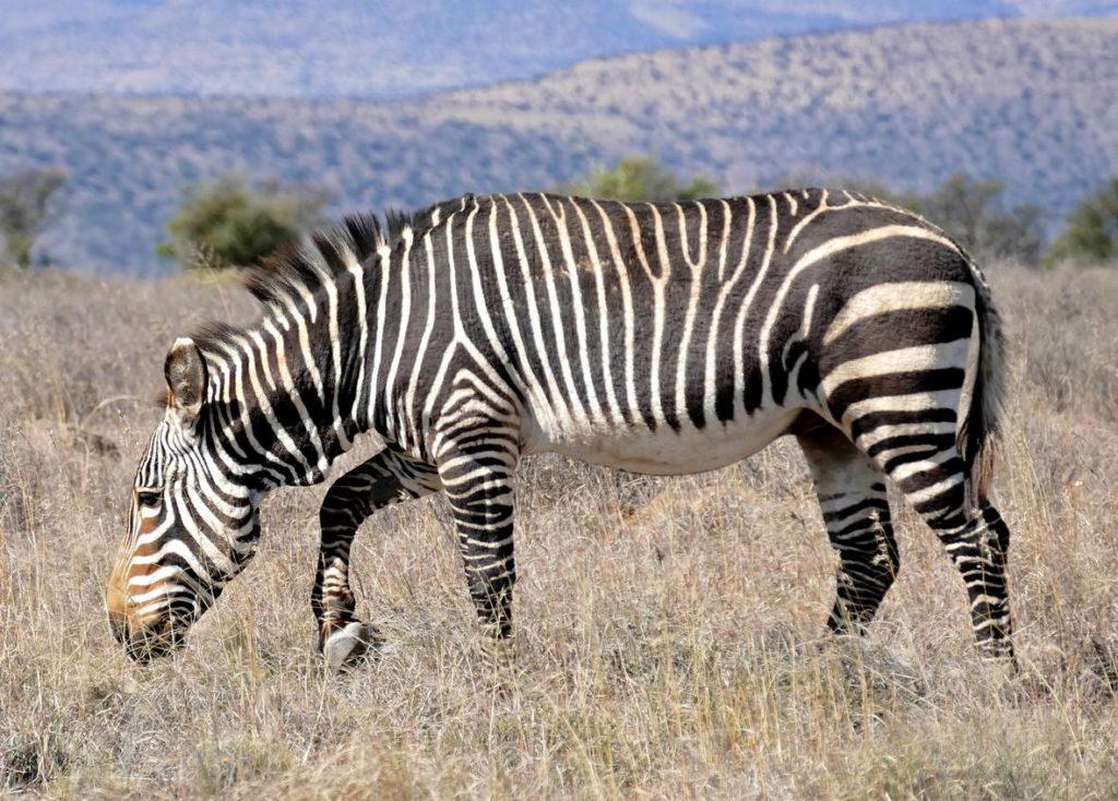Капская горная зебра - Equus zebra zebra