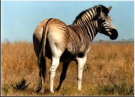 Зебра квагга - Equus quagga quagga