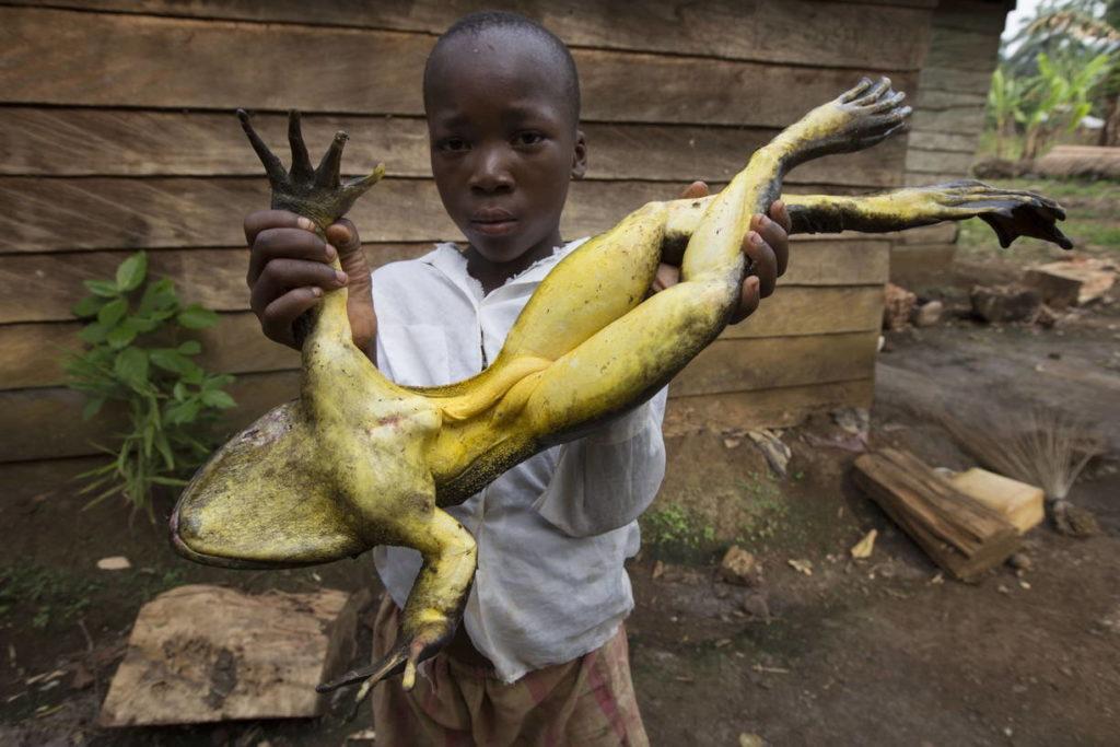 лягушка голиаф - Conraua goliath