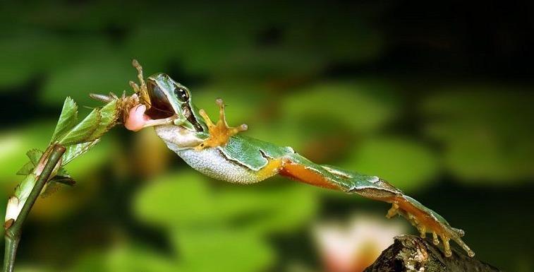 прыжок лягушки за насекомым