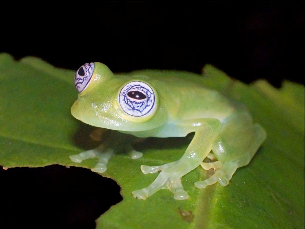 Стеклянная лягушка - Centrolenidae