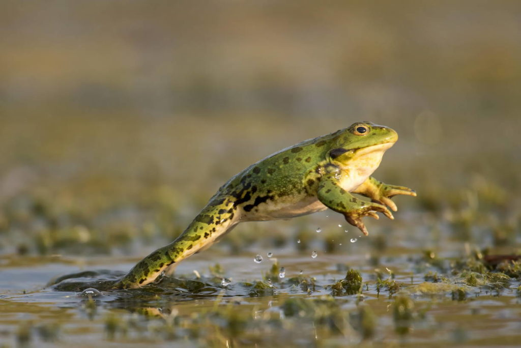 Прыжок лягушки