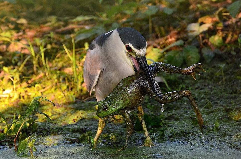 Птица ест лягушку