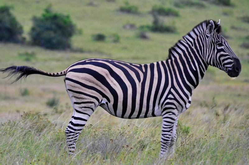 как выглядит зебра