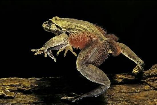Волосатая лягушка - Trichobatrachus robustus