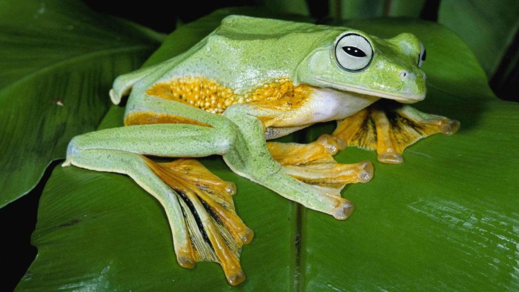 Яванская летающая лягушка - Rhacophorus reinwardtii