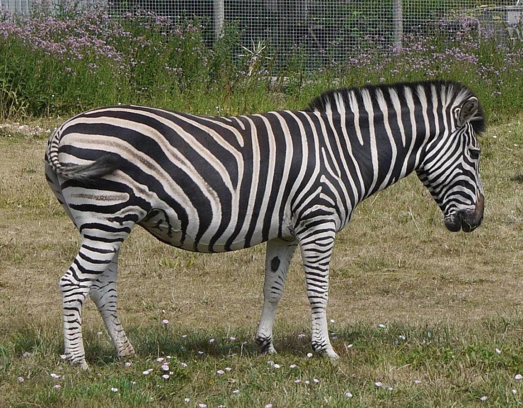 Зебра Чапмана - equus burchelli chapman